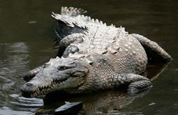 Острорылый крокодил
