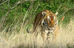 Южный китайский тигр